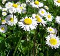 All-Properties-of-Chamomile