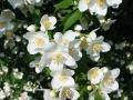 Jasmin-Flower1